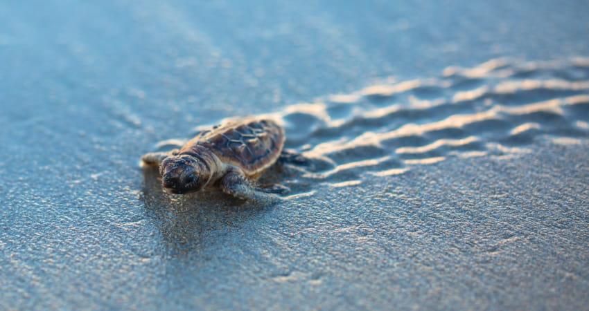 a baby sea turtle crawls on the beach toward the ocean