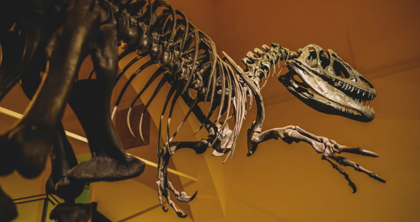 a fossil skeleton of a raptor in a dinosaur museum