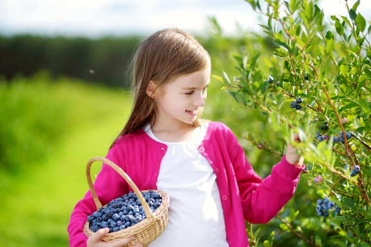 Girl picking blueberries