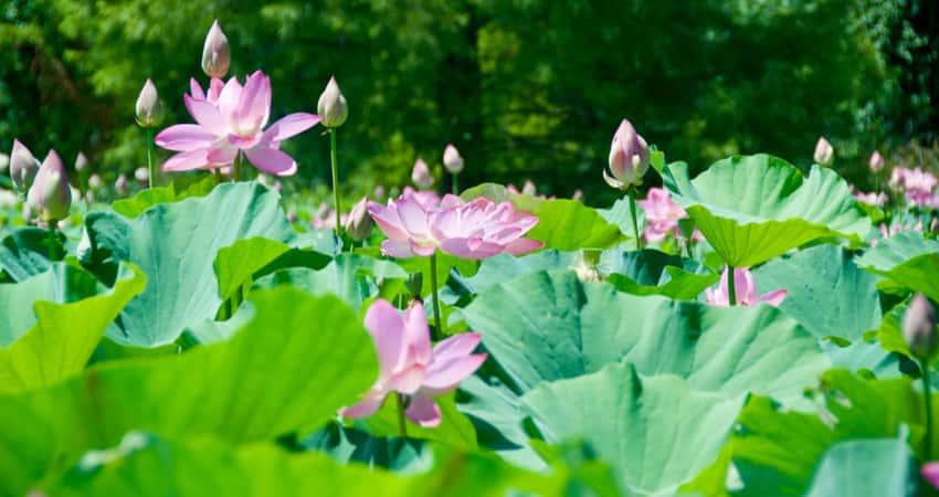 The water plants flowering in Kenilworth Park