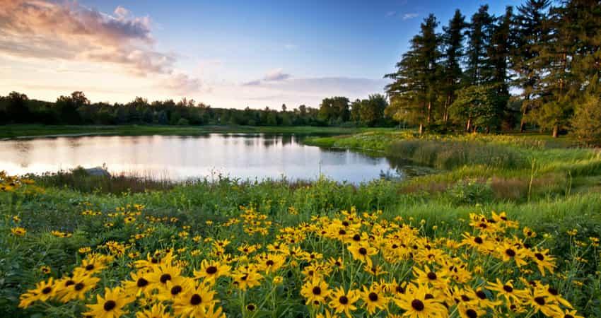 Yellow wildflowers at The Morton Arboretum