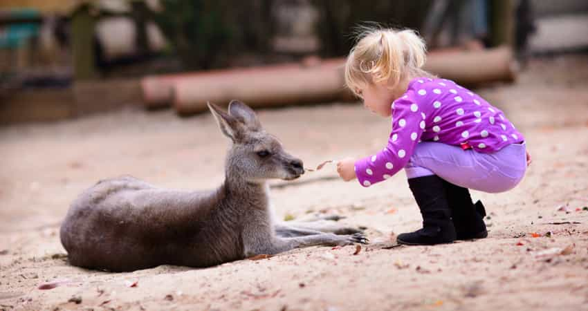 A young child feeding a kangaroo