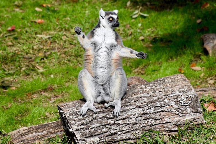 Lemur at Dallas Zoo