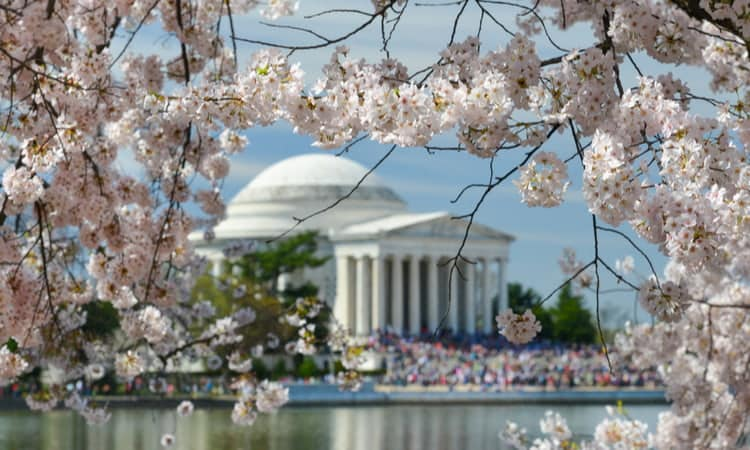 Cherry blossoms blooming around the National Mall in Washington DC