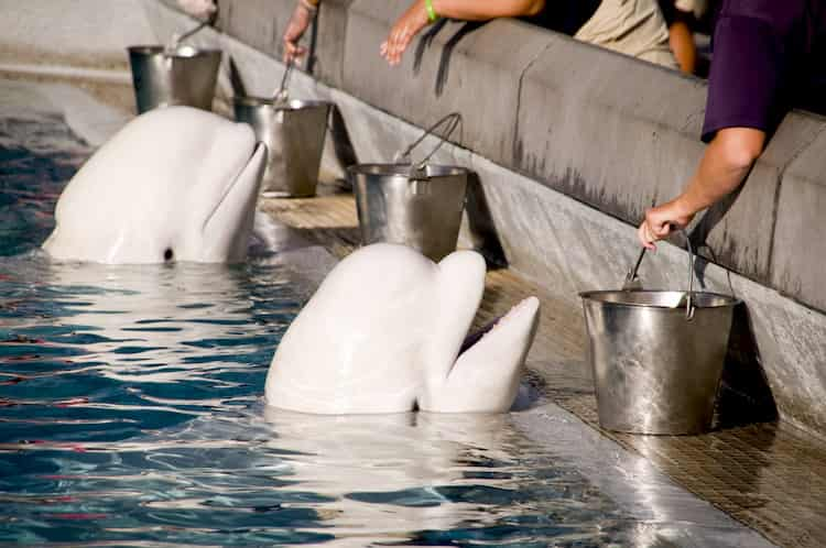 beluga whales wait to be fed at the shedd aquarium in chicago