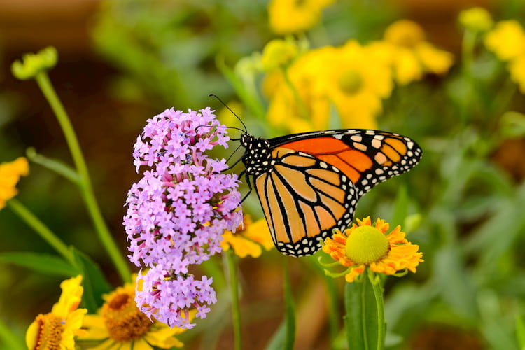 a monarch butterfly sitting on a purple flower in a flower garden