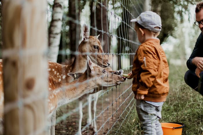 a boy feeds two deer at the denver zoo