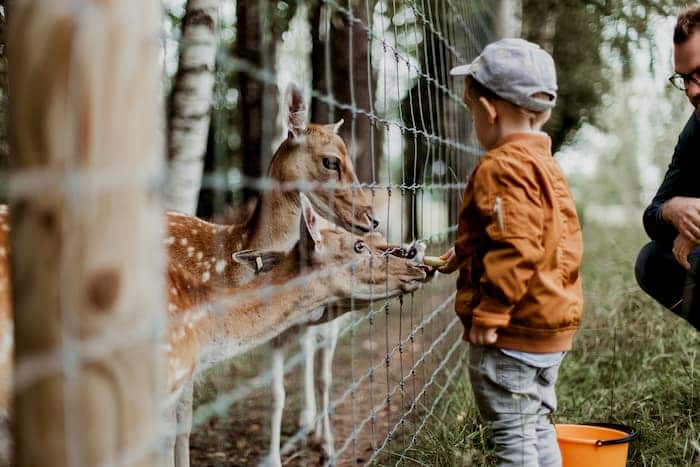 Child feeding deer at Denver Zoo