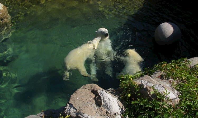 polar bears swim at the denver downtown aquarium