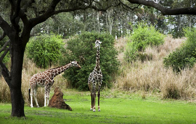 Giraffes at Animal Kingdom