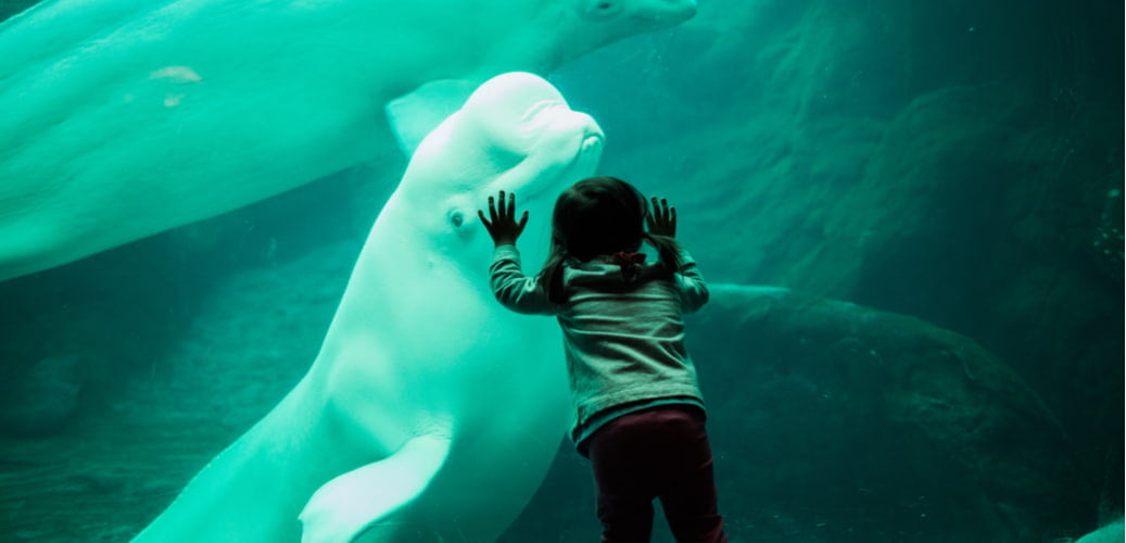 a young child looks at a beluga whale at the georgia aquarium