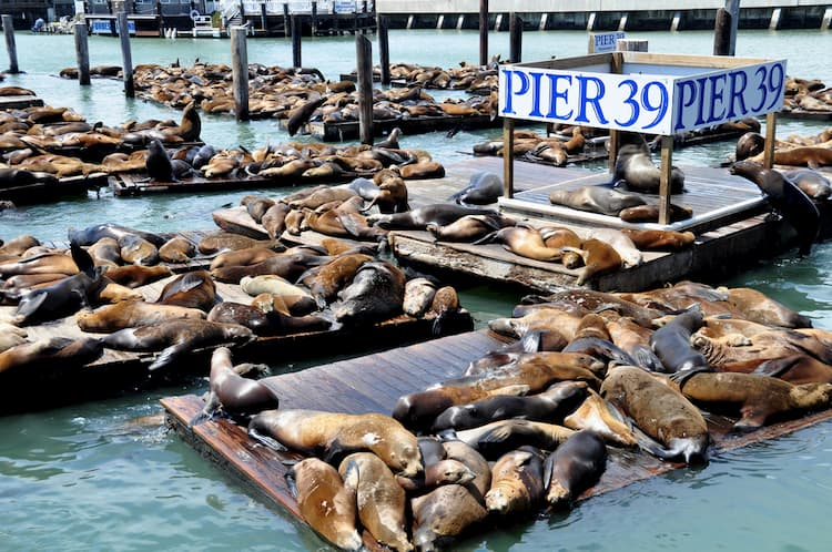 sea lions rest on the platforms at pier 39