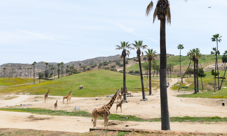 a wide view of the san diego zoo safari park with giraffes