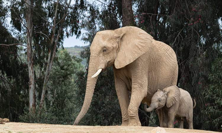 Mother elephant and her calf at the San Diego Zoo Safari Park