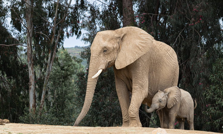 mother elephant and baby at the san diego zoo safari park