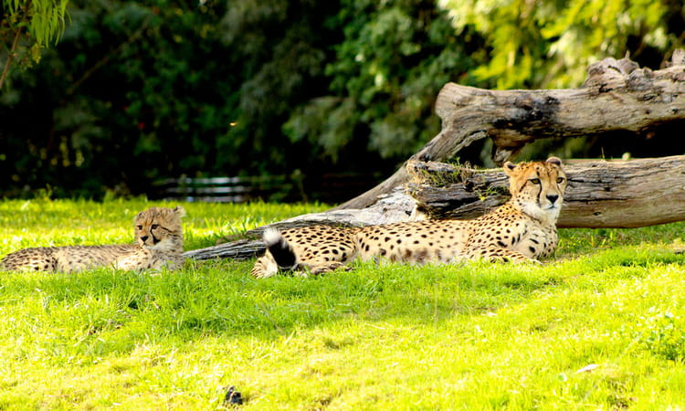 a cheetah and her cub relaxing at the san diego zoo safari park