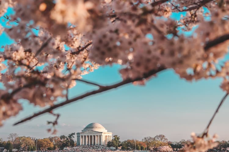 a view of the Jefferson Memorial through the cherry blossoms
